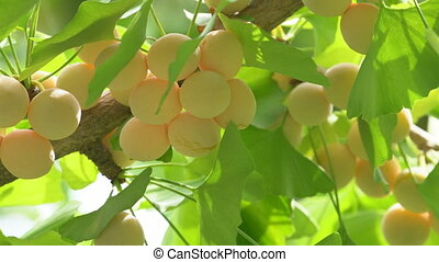 Ginkgo tree with Ginkgo nuts - Tokyo,Japan-September 11,...