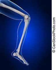 ginocchio, umano, illustrazione