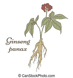 Ginseng panax sketch - Root and leaves panax ginseng. Vector...