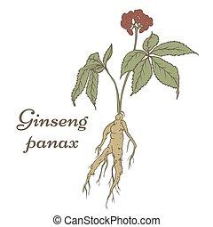 ginseng, schizzo, panax