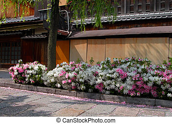 Gion spring - Azaleas hedge in Gion, Kyoto, during the ...