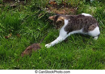 giovane, gatto, è, combattimento, con, uno, rat.