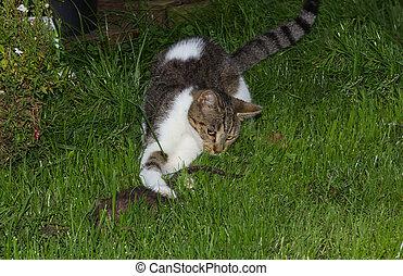 giovane, gatto, è, presa, uno, rat.