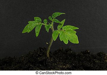 giovane, pianta pomodoro, e, suolo