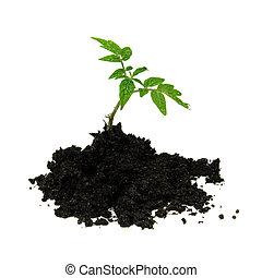 giovane, pianta pomodoro, e, suolo, isolato, bianco