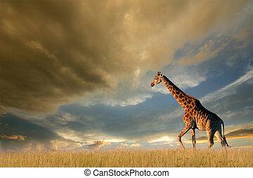 girafa, africano, planícies