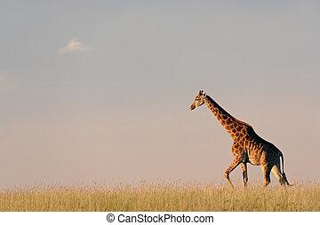 girafa, ligado, africano, planícies