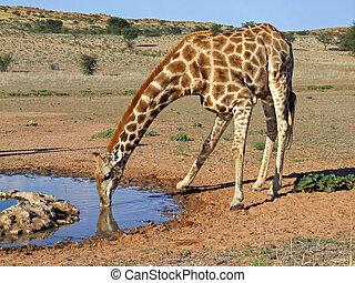 girafe, boire