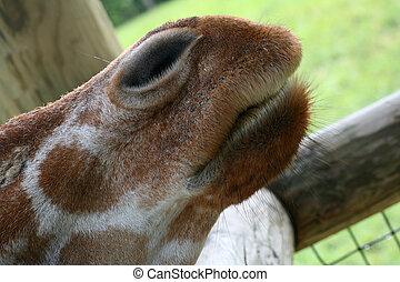 girafe, bouche, nez