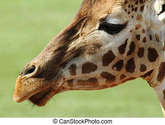 girafe, closeup, figure