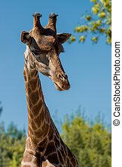 girafe, closeup