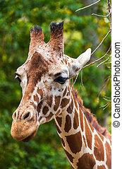 girafe, closeup, portrait