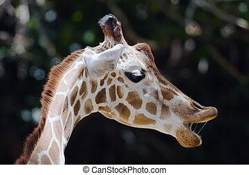 girafe, closeup, prise vue tête