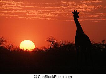 girafe, coucher soleil, silhouette