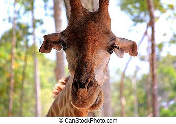 girafe, gros plan