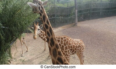 girafe, groupe, mange