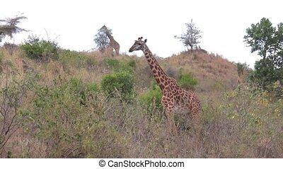 girafe, herbe, trouver