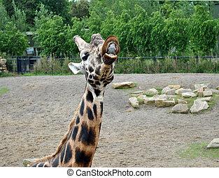 Rigolote girafe figure rigolote amusant c 39 est figure - Girafe rigolote ...