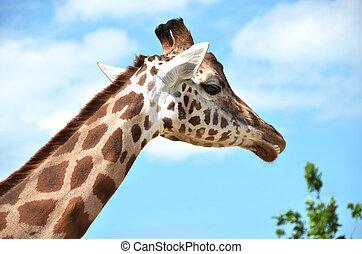 Langue girafe rigolote pourpre it 39 s l cher girafe - Girafe rigolote ...