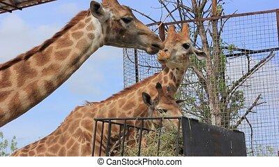 girafe, manger, herbe, africaine