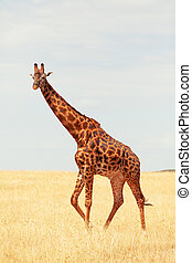 girafe masai, mara