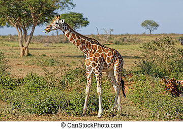 girafe, murchison, ouganda, chutes