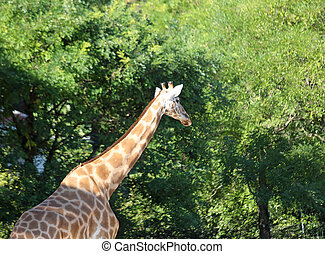 girafe, parc, cou, long, safari