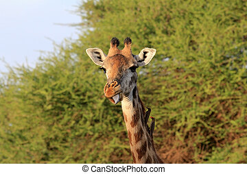 girafe, parc, gratuite