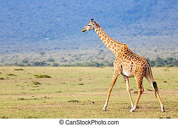 girafe, parc, safari