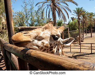 girafe, parc, safari, zoo