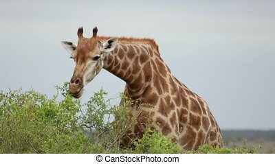 girafe, petit, manger, arbre, feuilles