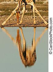 girafe, reflet