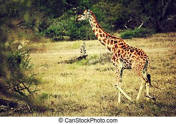 girafe, sur, africaine, savane