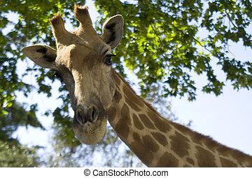 girafe, tête, 2