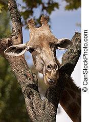 girafe, tête