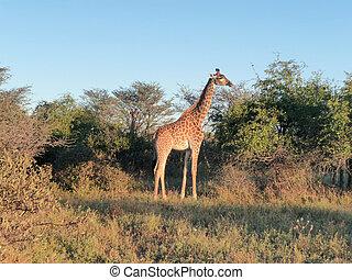 girafe, temps soir