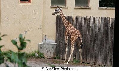 girafe, uriner, femme
