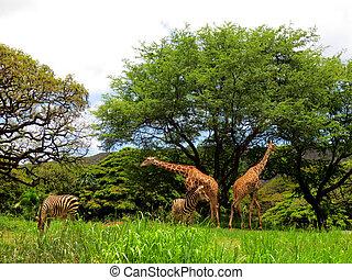 girafe, zebra, honolulu, zoo