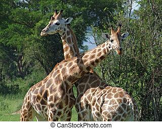 girafes, afrique, baston