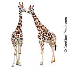 girafes