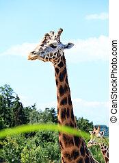 girafes, savane