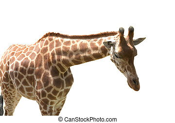 Giraff on white background.