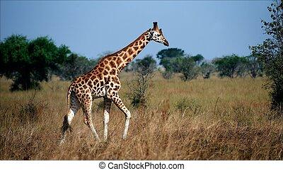 Giraffa camelopardalis. 2