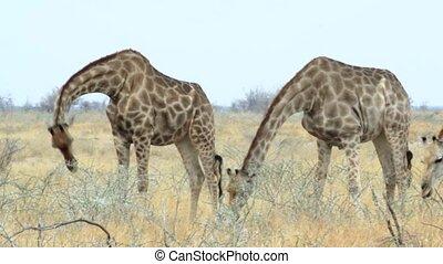 Giraffa camelopardalis grazing Etosha national Park, Ombika,...