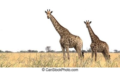 Giraffa camelopardalis grazing Etosha national Park, Ombika, Kunene, Namibia, true wildlife