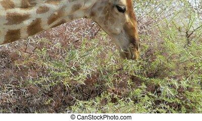 Giraffa camelopardalis drinking from waterhole in Etosha national Park, Ombika, Kunene, Namibia