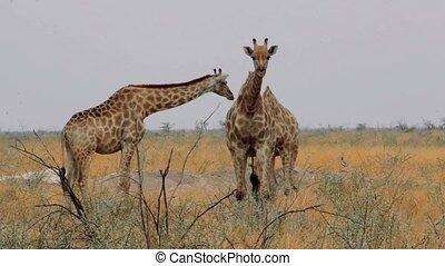 Giraffa camelopardalis grazing on t - herd of giraffa...