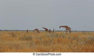 herd of giraffa camelopardalis grazing on tree in Etosha national Park, Ombika, Kunene, Namibia