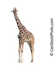 (giraffa, camelopardalis), jirafa