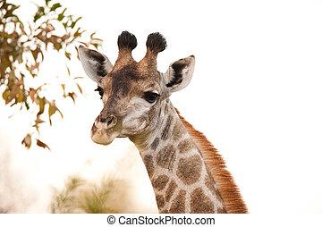 (giraffa, camelopardalis), jirafa, encima de cierre